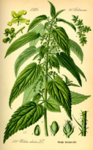 Herbal Health: The Stinging Nettle